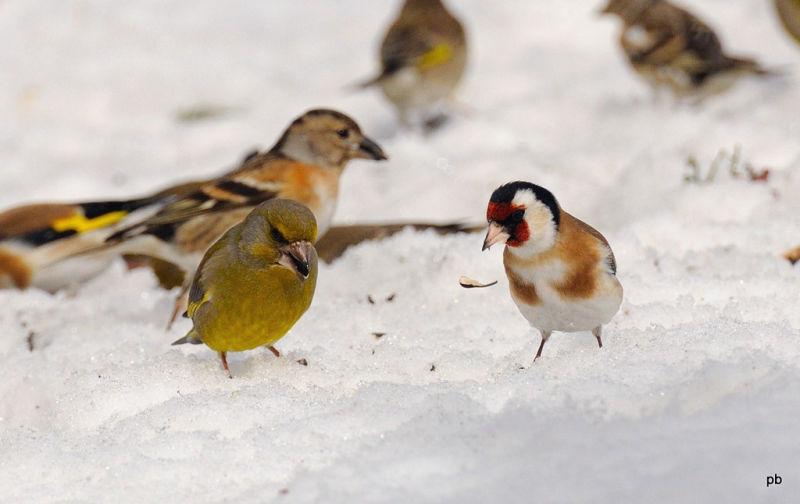 Птица щегол скачать mp3