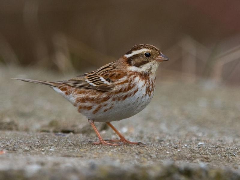 фото классический картинка птицы ремез овсянка территории